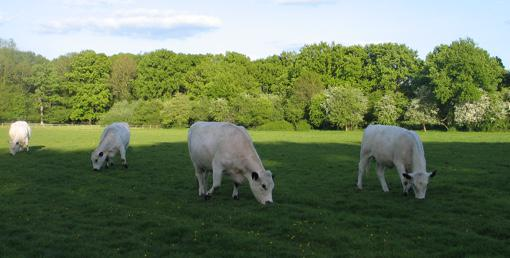 Cows in Winchfield, Hart District, Hampshire